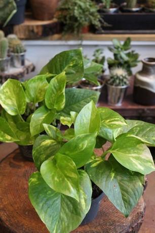 Scindapsus aureus 'devils ivy'