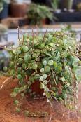 'String of Turtles' plant