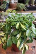 'Umberella plant' Schefflera