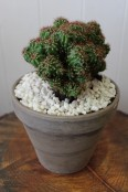 Potted cactus 1