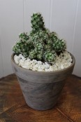 Potted cactus 2